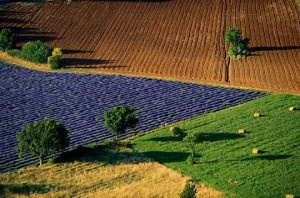 Campos cultivados en Provenza. La lavanda da color al campo de Francia