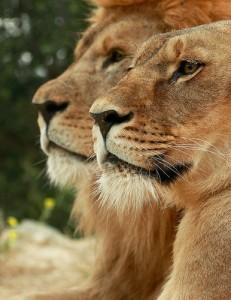 Leones, elegantes y orgullosos, en la Reserva Africana de Sigean. Foto de Victor Arnau