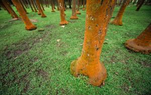 Bosque de palmeras en la isla de la Reunión.